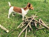Собаки, щенки Джек Рассел терьер, Фото