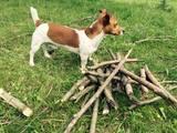 Собаки, щенята Джек Рассел тер'єр, Фото