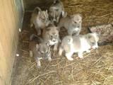 Собаки, щенки Западно-Сибирская лайка, цена 850 Грн., Фото