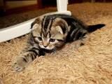 Кошки, котята Шотландская вислоухая, цена 4000 Грн., Фото