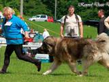 Собаки, щенята Кавказька вівчарка, ціна 10000 Грн., Фото