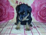 Собаки, щенята Ротвейлер, ціна 2500 Грн., Фото