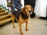Собаки, щенята Естонський гончак, ціна 20 Грн., Фото