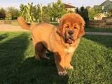 Собаки, щенята Тибетський мастиф, ціна 37500 Грн., Фото