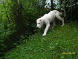 Собаки, щенки Среднеазиатская овчарка, цена 8500 Грн., Фото