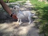 Собаки, щенки Чихуа-хуа, цена 12500 Грн., Фото