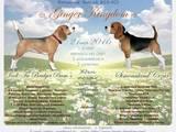 Собаки, щенята Бігль, ціна 12500 Грн., Фото