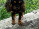 Собаки, щенята Кавалер-кинг-чарльз спаніель, ціна 10000 Грн., Фото