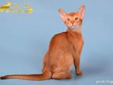 Кошки, котята Абиссинская, цена 12000 Грн., Фото