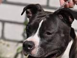 Собаки, щенята Американський стаффордширський тер'єр, ціна 10000 Грн., Фото