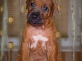 Собаки, щенки Родезийский риджбек, цена 28000 Грн., Фото