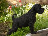 Собаки, щенята Цвергшнауцер, ціна 8500 Грн., Фото