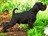 Собаки, щенки Цвергшнауцер, цена 8500 Грн., Фото