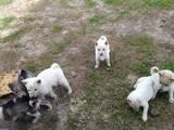 Собаки, щенки Западно-Сибирская лайка, цена 100 Грн., Фото