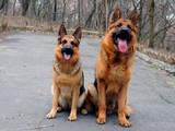 Собаки, щенята Німецька вівчарка, ціна 6999 Грн., Фото