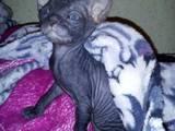 Кішки, кошенята Донський сфінкс, ціна 1150 Грн., Фото