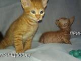 Кошки, котята Донской сфинкс, цена 500 Грн., Фото