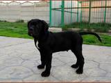 Собаки, щенята Кане Корсо, ціна 30000 Грн., Фото