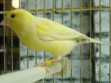Попугаи и птицы Канарейки, цена 600 Грн., Фото