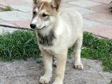 Собаки, щенки Западно-Сибирская лайка, цена 2000 Грн., Фото