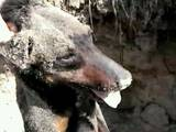 Собаки, щенята Ягдтер'єр, ціна 2000 Грн., Фото