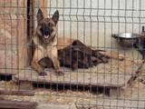Собаки, щенки Бельгийская овчарка (Малинуа), цена 2500 Грн., Фото