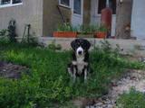 Собаки, щенята Середньоазіатська вівчарка, ціна 2500 Грн., Фото