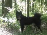 Собаки, щенята Східно-сибірська лайка, ціна 250 Грн., Фото