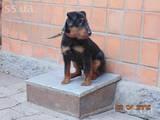 Собаки, щенки Ягдтерьер, цена 3000 Грн., Фото