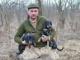 Собаки, щенки Гладкошерстная такса, цена 5 Грн., Фото