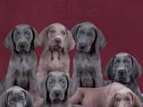 Собаки, щенята Веймарська лягава, ціна 30000 Грн., Фото