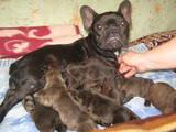 Собаки, щенки Французский бульдог, цена 7500 Грн., Фото