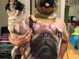 Собаки, щенки Мопс, Фото