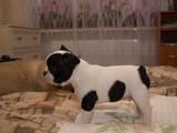 Собаки, щенки Французский бульдог, цена 5500 Грн., Фото