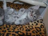 Кішки, кошенята Різне, ціна 300 Грн., Фото