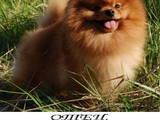 Собаки, щенята Померанський шпіц, ціна 37500 Грн., Фото