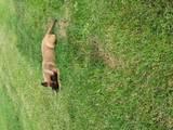 Собаки, щенята Бельгійська вівчарка (Малінуа), ціна 5000 Грн., Фото