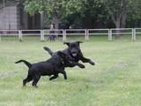 Собаки, щенки Лабрадор ретривер, цена 5000 Грн., Фото
