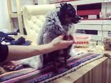 Собаки, щенята Російський гладкошерстий тойтерьер, ціна 1000 Грн., Фото