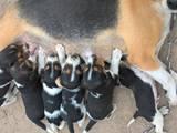 Собаки, щенки Эстонская гончая, цена 600 Грн., Фото