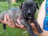 Собаки, щенята Американський стаффордширський тер'єр, ціна 1400 Грн., Фото