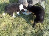 Собаки, щенята Східно-сибірська лайка, ціна 700 Грн., Фото