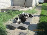 Собаки, щенята Російсько-Європейська лайка, ціна 3500 Грн., Фото