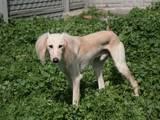 Собаки, щенки Салюки, цена 8750 Грн., Фото