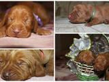 Собаки, щенята Угорська вижла, ціна 100 Грн., Фото