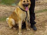 Собаки, щенята Східно-Європейська вівчарка, ціна 1100 Грн., Фото