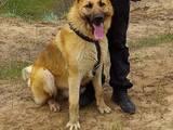 Собаки, щенки Восточно-Европейская овчарка, цена 1100 Грн., Фото
