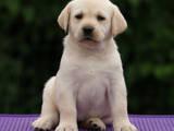 Собаки, щенки Лабрадор ретривер, цена 16000 Грн., Фото