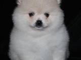 Собаки, щенята Померанський шпіц, ціна 27000 Грн., Фото