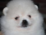 Собаки, щенки Карликовый шпиц, цена 27000 Грн., Фото